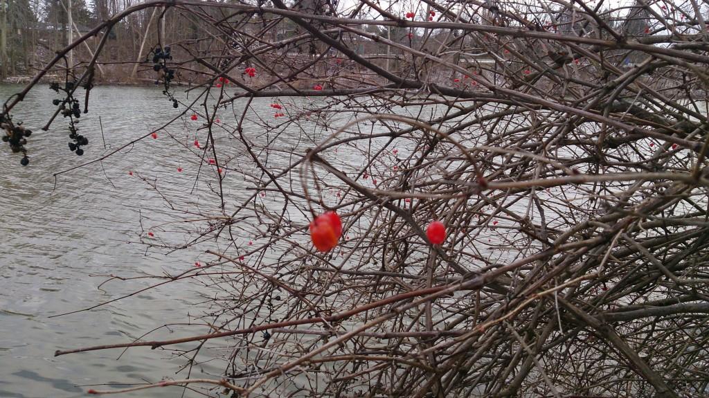 A handful of berries haven't been stolen away by the birds at the Coldstream Conservation Area.
